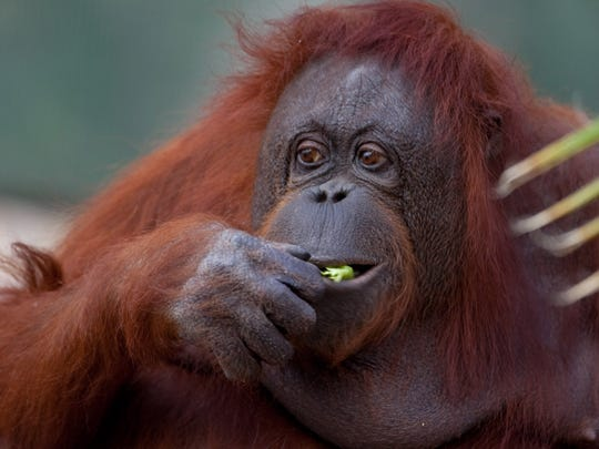 Duchess, North America's oldest Bornean orangutan at age 52, died in 2012 from lymphatic cancer at the Phoenix Zoo.