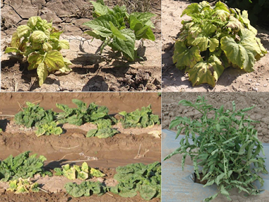 Examples of beet curly top virus on bean and pumpkin