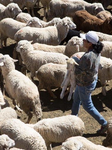 Marie Peyketewa separates lambs from their mothers on March 14, 2017. The lambs are too small to spend the day out grazing with their mom's.