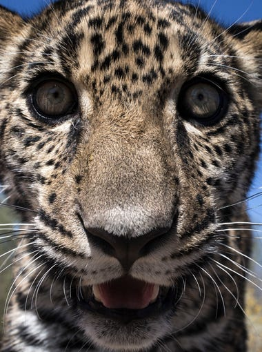March 19, 2017; Hermosillo, Sonora, Mexico; Tutu'uli, a 6-month old female jaguar lives at the Ecological Center of Sonora on March 19, 2017, in Hermosillo, Mexico.