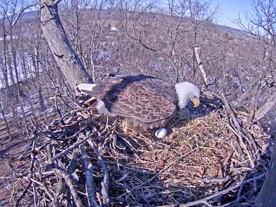 An eagle tends to the first egg of the 2016 season in this screenshot captured by  Beverly Serfass Garr on Feb. 18. The nest, near Hanover, is livestreamed by the Pennsylvania Game Commission.