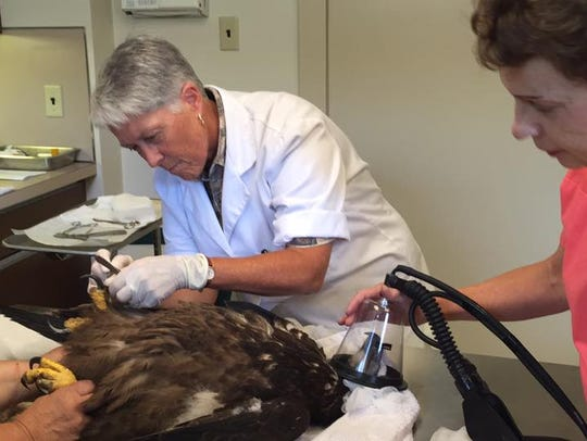 An oxygen mask is placed over the beak of the injured