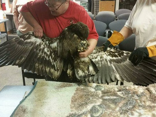 Raptor rehabilitator Wendy Ebersole Looker and Leader