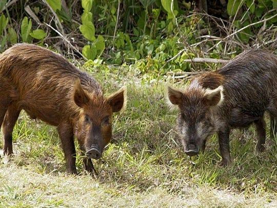 File photo: Feral hogs.