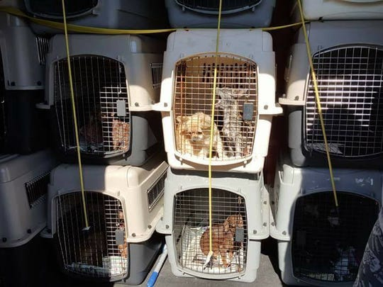 Dogs rescued from a kill shelter in Virginia are packed