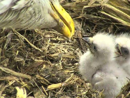 636629498084581508-Baby-eagles.jpg