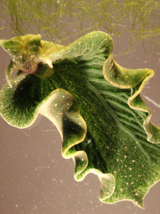 Solar powered sea slugs shed light on search for perpetual green energy PHOTO CAPTION