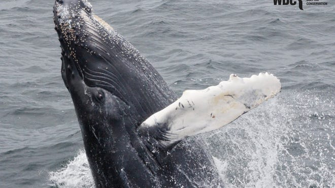 Whale and Dolphin Conservation just received a $450K grant from The Sheehan Family Companies to help save North Atlantic rigth whales and humpback whales like this one from extinction.