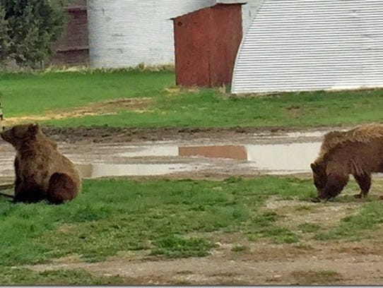 Two young grizzly bears were spotted on the property