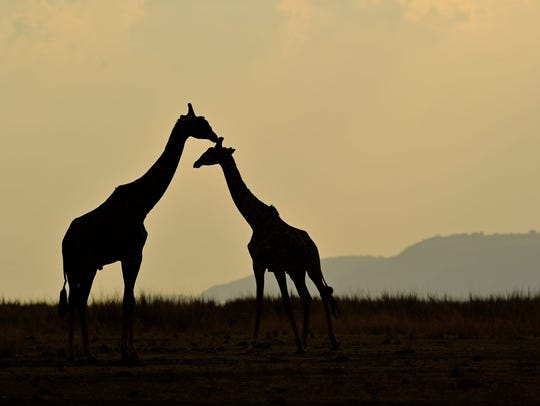Giraffes stand together during the annual wildebeest