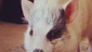 Big Time Rush! band member Kendall Schmidt couldn't help but share his pig Yuma with his fans on Instagram.
