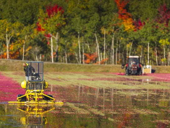 Cranberries are removed from vines in 2014. Near-ideal