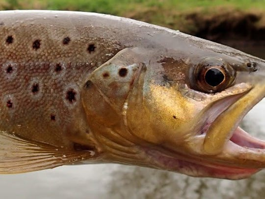28 brown trout were caught on the day.