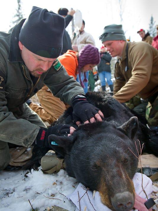 635820675131295677-DNR-wildlife-biologist-collaring-a-bear
