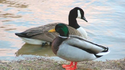 Bread is not an appropriate item to offer to your birds. It can cause a condition called angel wing in waterfowl if they are fed enough of it.
