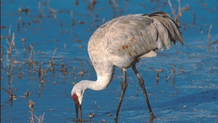 Sandhill cranes eat a variety of animals, including frogs, small mammals, insects and snakes along with grains.