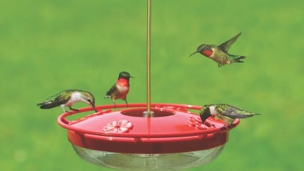 Male and female ruby-throated hummingbirds visit a feeder.