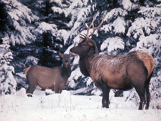 Late winter can be a stressful time for elk and deer with deep snow, limited food options and depleted fat reserves. That's why Montana Fish, Wildlife and Parks is asking shed hunters and other recreationists to give deer and elk their space until the snow melts.