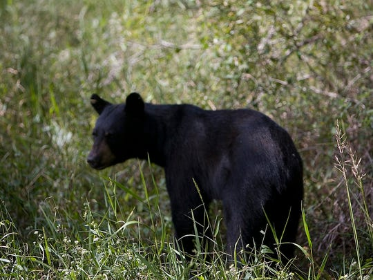 A black bear strolls through Corkscrew Swamp Sanctuary Wednesday 10/10/2007.  Even thoughmigrant birds are a little scarce due to drought.  Native wildlife can still be seen