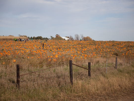 The expansive pumpkin patch at The Pumpkin Ranch in Winterset.