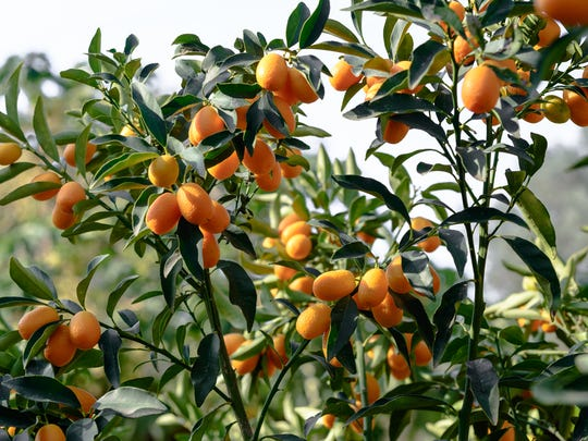 Kumquats.  Bright, cheerful, grape size orange fruit