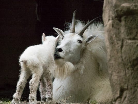 636649448188862432-Mountain-Goat-Kid.jpg