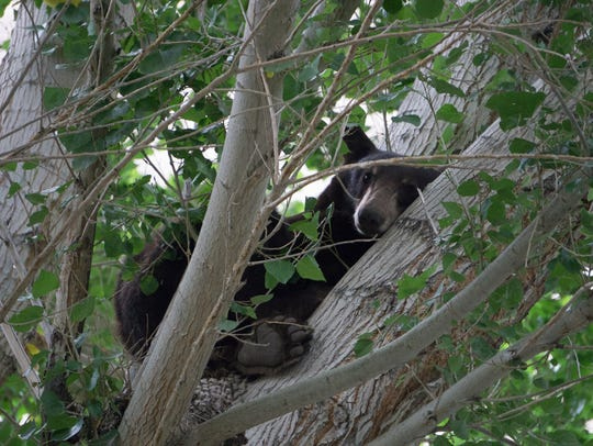 A black bear climbed into a tree near the campgrounds