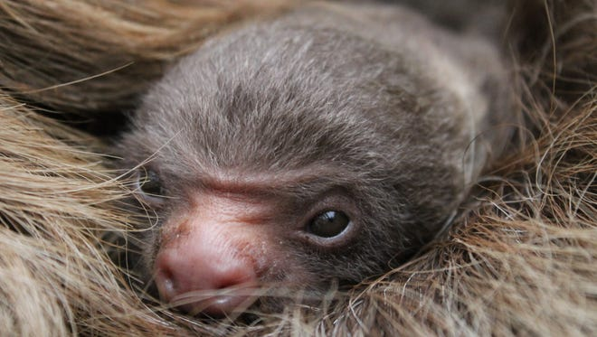 Foley, a Hoffmann's Sloth, was born December 16, 2017 at the Topeka Zoo and Conservation Center.