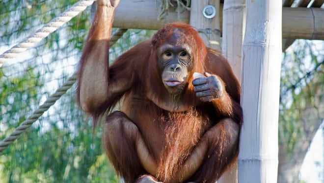 Animals, like this orangutan, will get a chance to snack on some cold-themed treats.