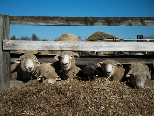 636452313345853449-jl-sheep-103117-02.JPG