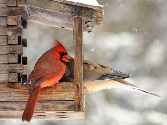 A male cardinal shares a bird feeder with a mourning