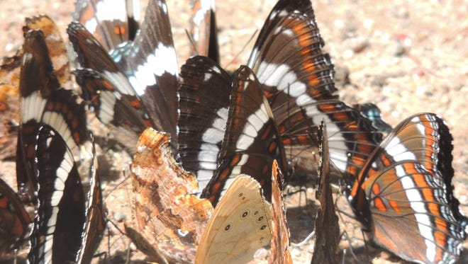 A gathering of colorful white admirals, commas, an eyed brown and other butterflies feast upon a sandy trail at Hartman Creek State Park near Waupaca.