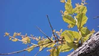 Storm-damaged trees sprouting new growth along the Treasure Coast.