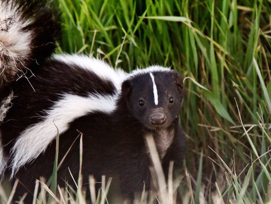 Young Striped Skunk in roadside ditch