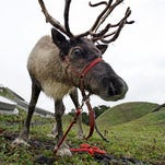 FILE - In this Nov. 23, 2010 file photo, a reindeer grazes on the living roof of the California Academy of Sciences in San Francisco. In a scholarly paper published Monday, Dec. 21, 2015, anthropology professor Nathaniel Dominy of Dartmouth College in Hanover, N.H., explores how the unique properties of reindeer eyes, including reflective tissue that changes color according to the season and the ability to see ultraviolet light, might explain the advantage of Rudolph's glowing red nose.