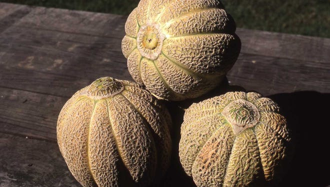 The Jenny Lind muskmelon is a medium-large heirloom muskmelon that dates back to 1840. The light greenish flesh is sweet and flavorful.