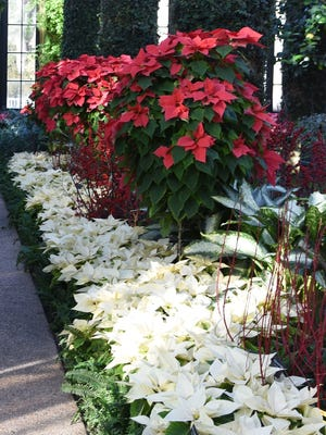 Traditional red poinsettias grown as trees with white poinsettias below.