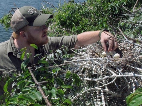 "In this June 16, 2016 photo, Connor Cincotta, of the New York Department of Environmental Conservation, checks a nest of double-crested cormorants on island ""B"" of the Four Brothers Islands on the New York side IN Lake Champlain. Biologists have been working to reduce the populations of the birds in the nesting grounds on the islands in the lake. But a federal judge's decision suspended efforts to control the bird on Lake Champlain and in 24 Eastern states."
