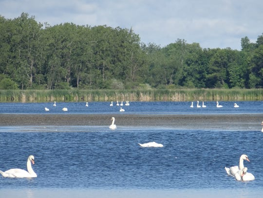Mute swans on Buck Pond in Greece, June 2017