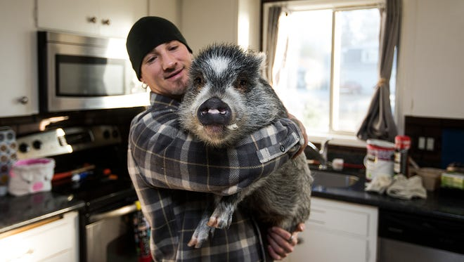 In this Thursday, Dec. 7, 2017 photo, Brett Banks picks up Norman, one of three pigs he owns, at home in Everett, Wa. Banks says Norman, who is not a boar as one person reported, is the friendliest and will walk up to people with a wag in his tail.