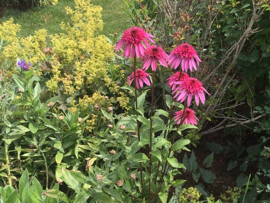 Many kinds of coneflowers (seen here, Echinacea 'Hot