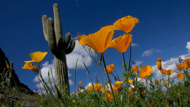 Mexican poppies at Picacho Peak State Park about 60 miles southeast of Phoenix.