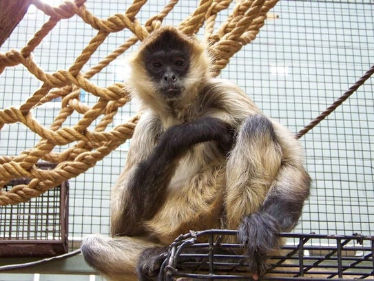 Spiderman, the Seneca Park Zoo spider monkey, died earlier this year.
