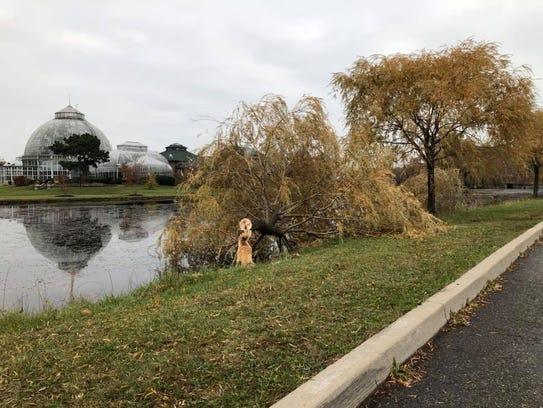 A fallen willow on Belle Isle Nov. 13, 2017 appears