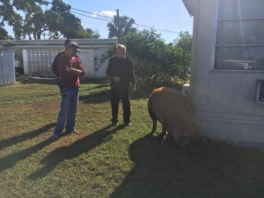 This pig was reported to the Lee County Sheriff's Office