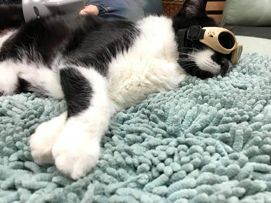 Kipper receives laser treatment to ease pain in his