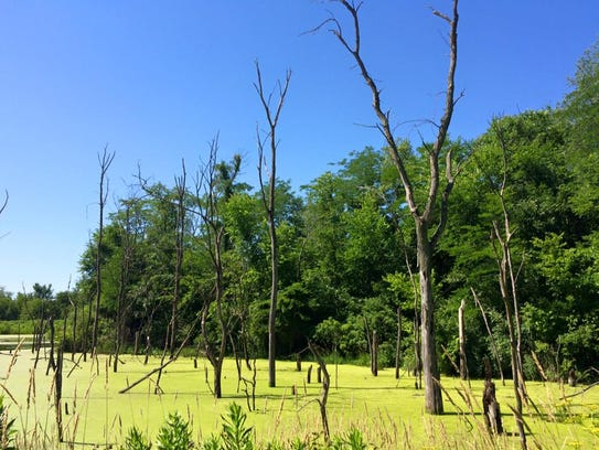 A swamp is shown at F.W. Kent County Park on June 27,