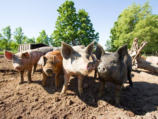 Hogs play in the sun on the Waseda Farms property.