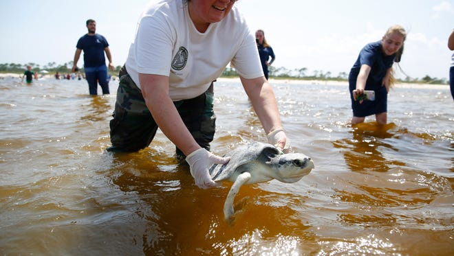 Florida Wildlife Biologist Kristen Sella lowers Scooby, a cempridley turtle, into the ocean at Bald Point State Park on Wednesday.