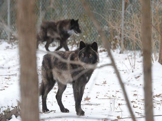 635563159094214139-wolves-potter-park-2.jpg